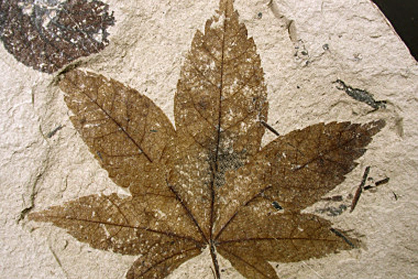 Plant-fossil